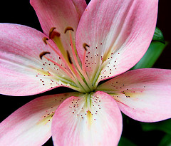 Pink Flower by fmc.nikon.d40 Flickr