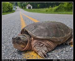 Turtle Flickr photo Courtesy of Gaphiker