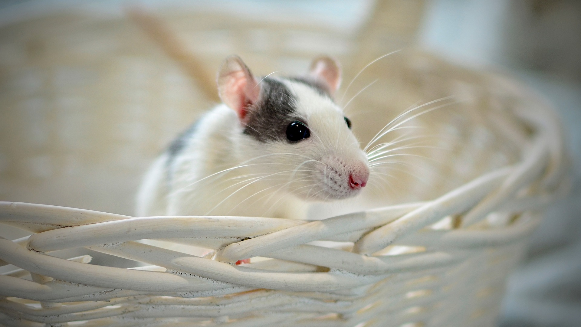 Vaccine for MS using Mouse Model