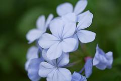 Blue Plumbago Courtesy of WilsonB