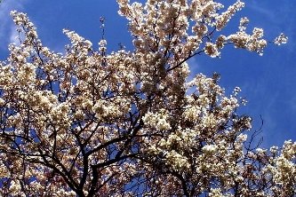 Diana Neutze - Cherry Blossoms