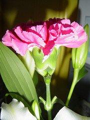 Pink Carnation photo courtesy of Eggybird (Flickr)