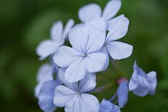 Blue Plumbago Courtesy of WilsonB